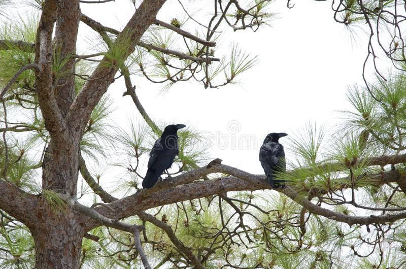 Gemeenschappelijke Raven royalty-vrije stock afbeelding