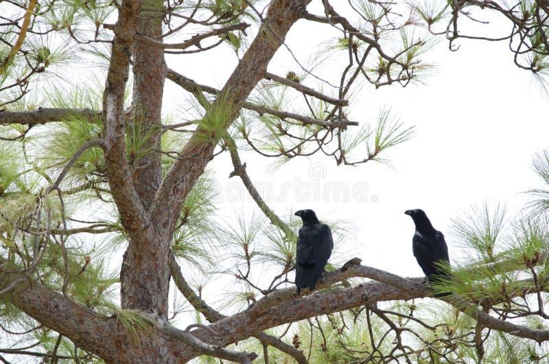 Gemeenschappelijke Raven stock afbeelding