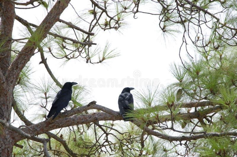 Gemeenschappelijke Raven royalty-vrije stock foto