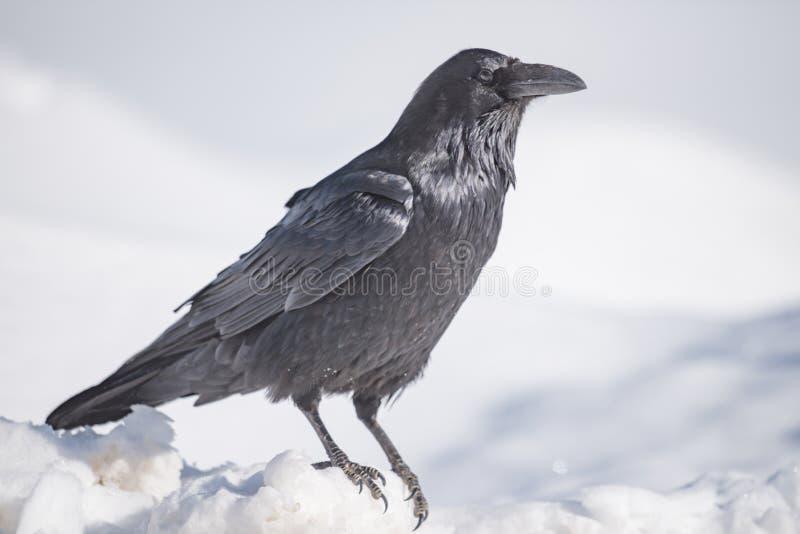 Gemeenschappelijke Raven Corvus corax royalty-vrije stock foto's