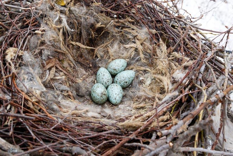 Gemeenschappelijke Raven Corvus corax - nest stock afbeelding