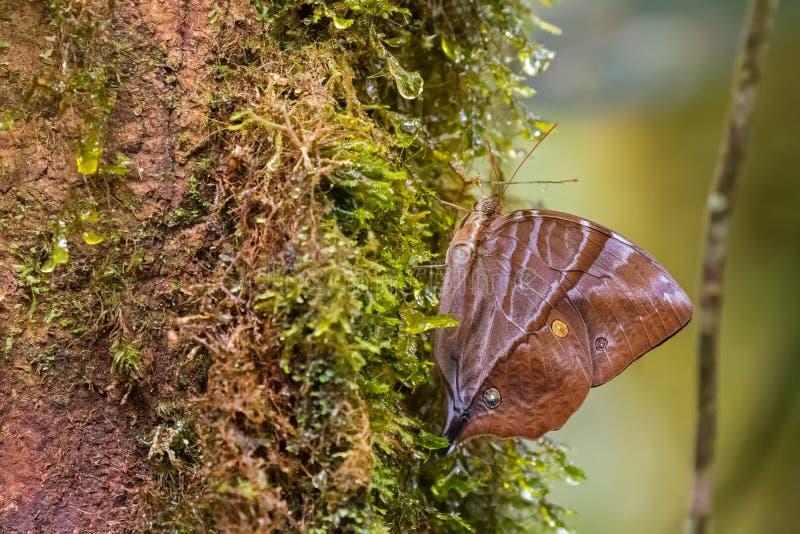 Gemeenschappelijke Saturn-vlinder die op bemoste boom in Kinabalu Natio neerstrijken stock afbeelding