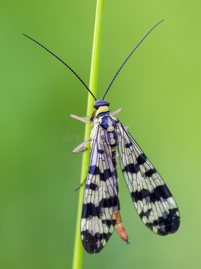 Gemeenschappelijke Scorpionfly zit op neiging stock foto