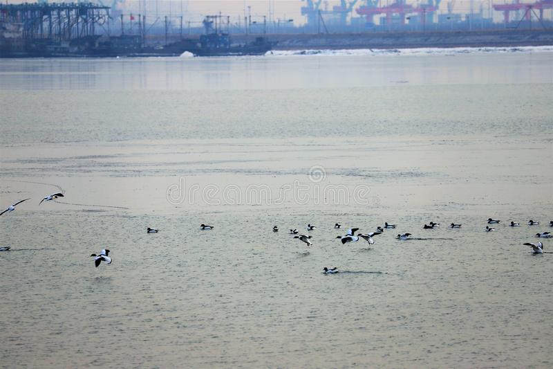 Gemeenschappelijke Shelduck& x27; s dichtbij de tianjinhaven stock foto