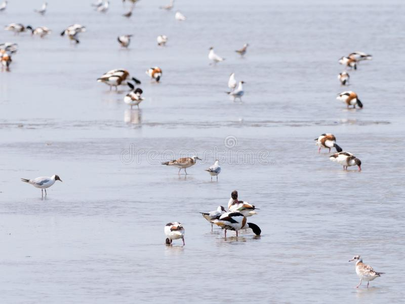 Gemeenschappelijke shelducks, Tadorna-tadorna, en zeemeeuwen die en in ondiep water van Waddensea at low tide waden voederen, Ned royalty-vrije stock fotografie