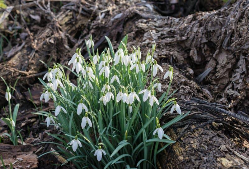 Gemeenschappelijke Sneeuwklokjes die tussen de rotte gevallen bladeren bloeien van royalty-vrije stock foto's