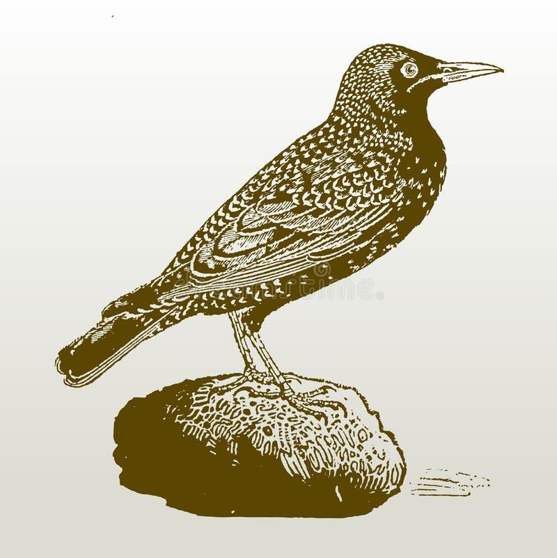 Gemeenschappelijke starling sturnus vulgaris zitting op een steen royalty-vrije illustratie