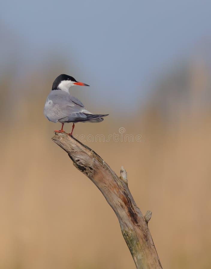 Gemeenschappelijke Stern - Borstbeenderenhirundo - dichtbij het nest stock foto