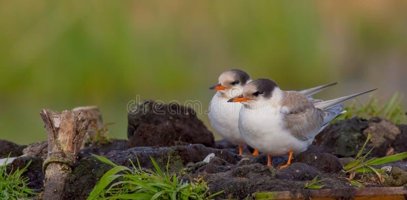 Gemeenschappelijke Stern - Borstbeenderenhirundo - twee jonge vogels stock fotografie