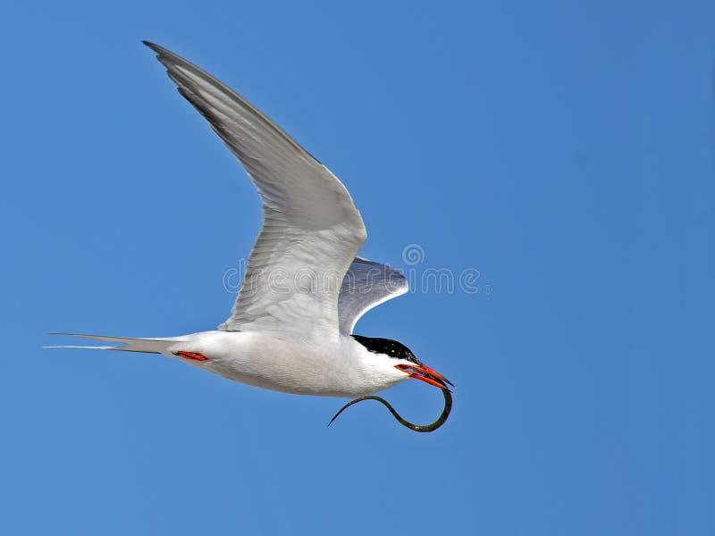 Gemeenschappelijke stern tijdens de vlucht met vissen royalty-vrije stock afbeeldingen