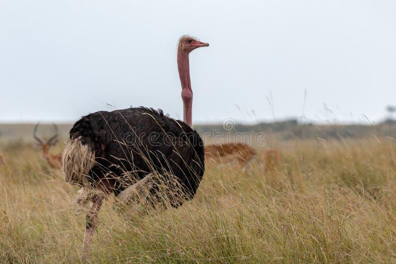 Gemeenschappelijke Struisvogel, Kenia, Afrika stock afbeeldingen