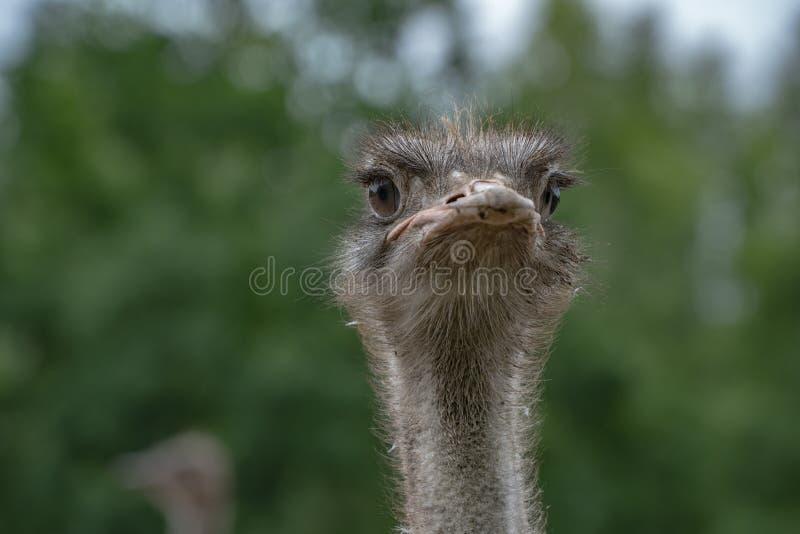 Gemeenschappelijke Struisvogel Struisvogellandbouwbedrijf in Letland De EU royalty-vrije stock afbeelding
