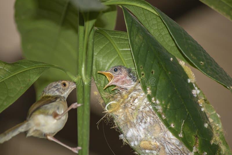 Gemeenschappelijke sutorius die van Orthotomus van de Kleermakersvogel de babyvogel voeden stock afbeeldingen