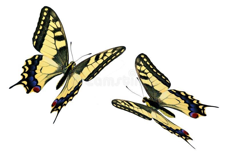 Gemeenschappelijke Swallowtail (Papilio machaon) tijdens de vlucht royalty-vrije stock fotografie
