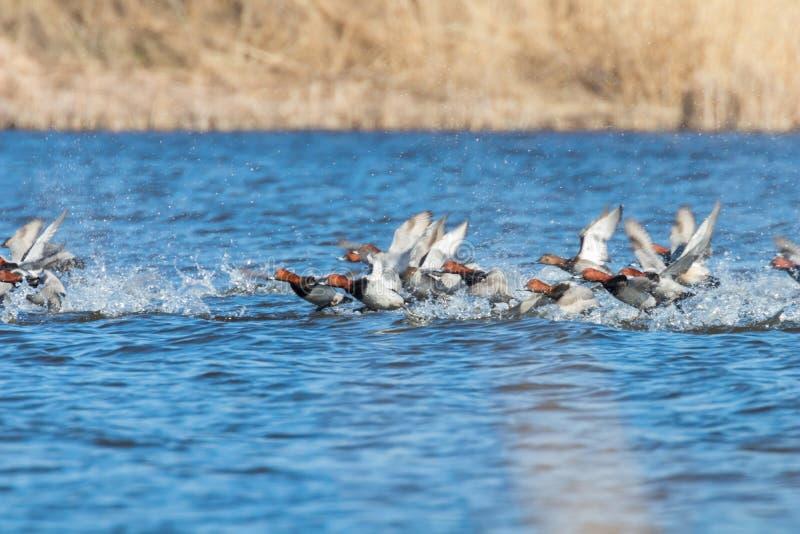 Gemeenschappelijke Tafeleendeenden die over ferina van wateraythya vliegen royalty-vrije stock fotografie