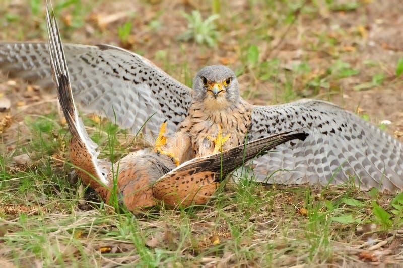 Gemeenschappelijke Torenvalk (Falco-tinnunculus) stock foto's