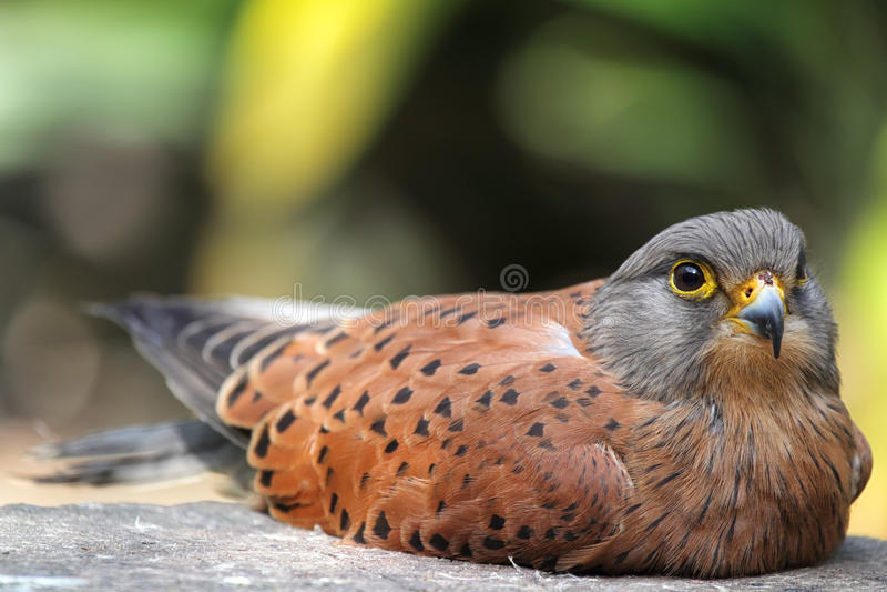 Gemeenschappelijke Torenvalk (Falco-tinnunculus) royalty-vrije stock afbeeldingen