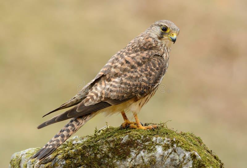 Gemeenschappelijke Torenvalk (Falco tinnunculus) royalty-vrije stock foto's