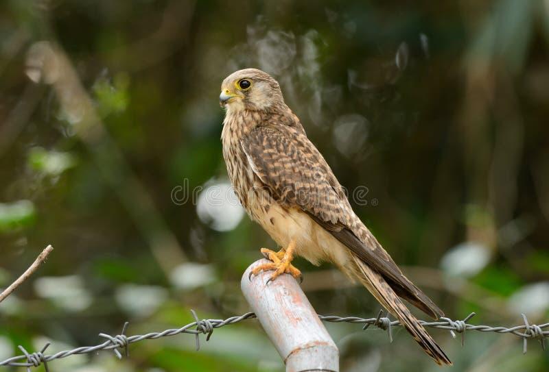 Gemeenschappelijke Torenvalk (Falco tinnunculus) stock foto