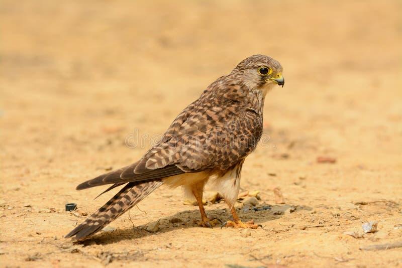 Gemeenschappelijke Torenvalk (Falco tinnunculus) royalty-vrije stock fotografie