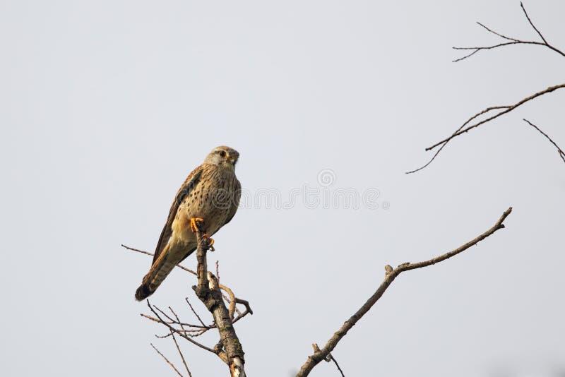 Gemeenschappelijke Torenvalk (Falco tinnunculus) royalty-vrije stock foto