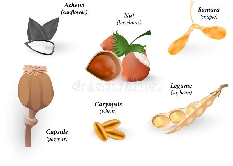 Gemeenschappelijke Types van Vruchten en Zaden. Vector illustrat royalty-vrije illustratie