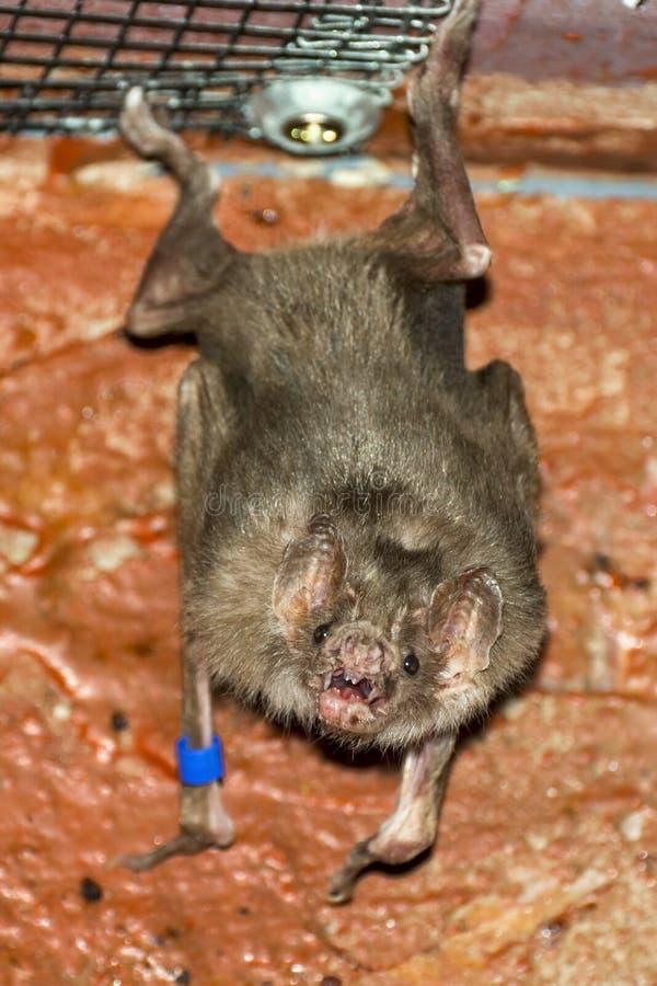 Gemeenschappelijke vampier (Desmodus-rotundus) royalty-vrije stock foto
