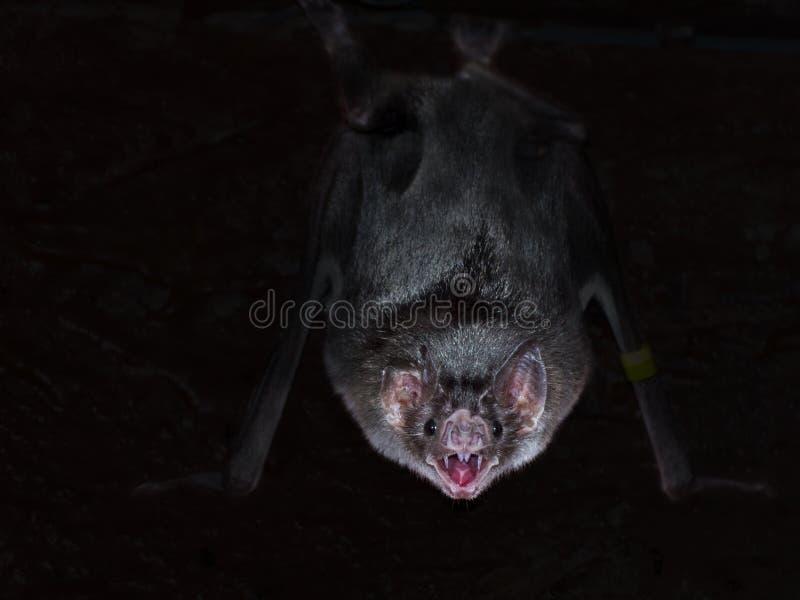 Gemeenschappelijke vampier (Desmodus-rotundus) stock foto's