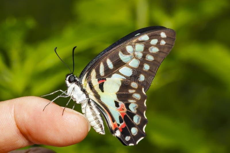 Gemeenschappelijke Vlaamse gaaivlinder Graphium die doson op menselijke vinger rusten stock foto