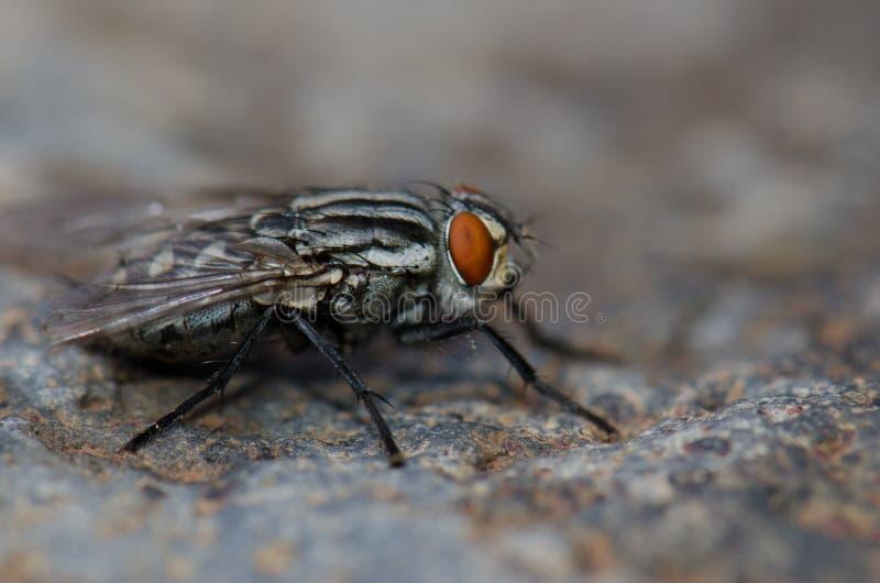 Gemeenschappelijke vleesvlieg royalty-vrije stock afbeeldingen