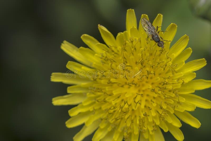Gemeenschappelijke vlieg op een uiterst kleine bloem royalty-vrije stock foto's