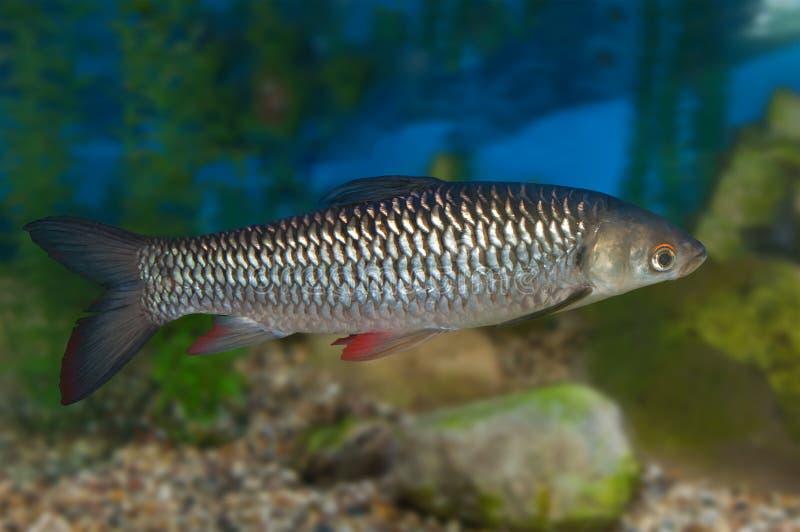 Gemeenschappelijke voorn in aquarium royalty-vrije stock afbeeldingen