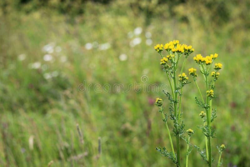 Gemeenschappelijke vulgaris ragwort of groundsel Jacobaea royalty-vrije stock foto's
