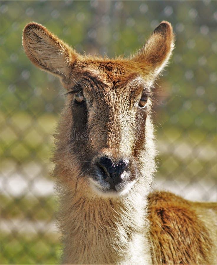 Gemeenschappelijke Waterbuck-Antilope royalty-vrije stock foto's