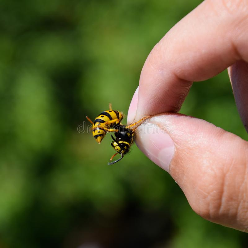 Gemeenschappelijke wesp op geknepen vingers stock foto