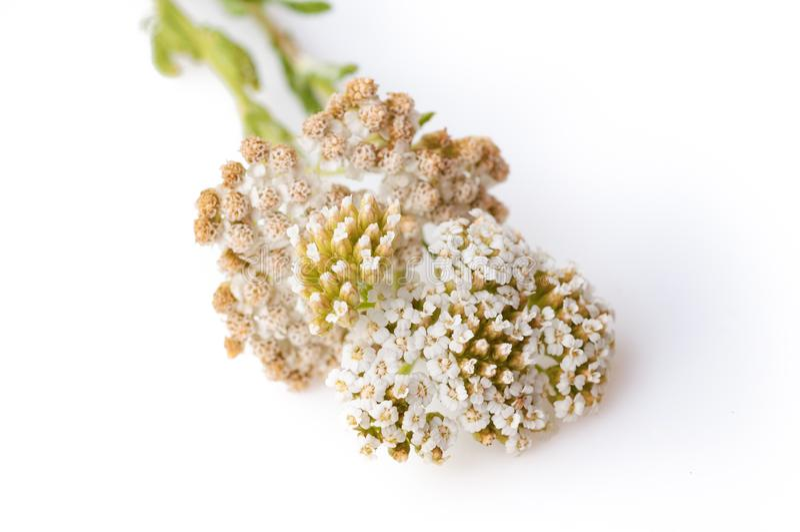 Gemeenschappelijke Yarrow Achillea-millefolium bloeiende die installatie tegen witte achtergrond wordt geïsoleerd stock fotografie