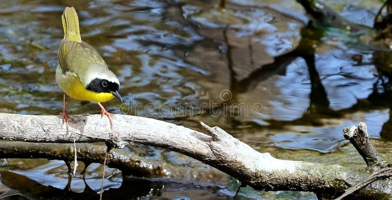 Gemeenschappelijke Yellowthroat-geothlypistrichas stock foto