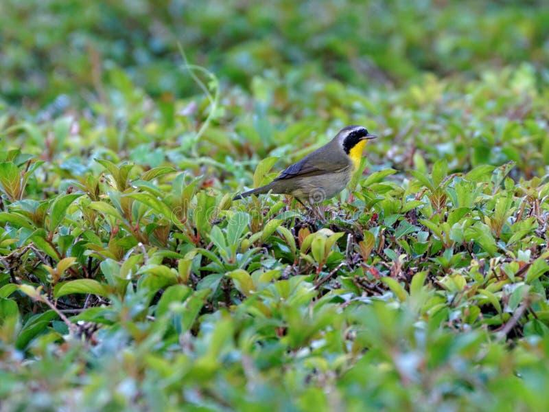 Gemeenschappelijke Yellowthroat-Grasmus stock foto