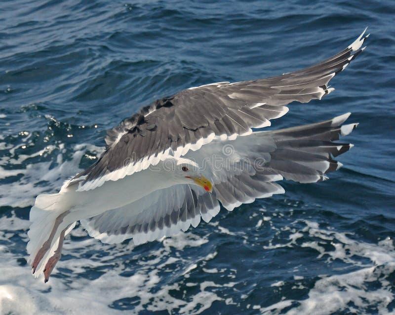 Gemeenschappelijke Zeemeeuw, canus Larus stock foto
