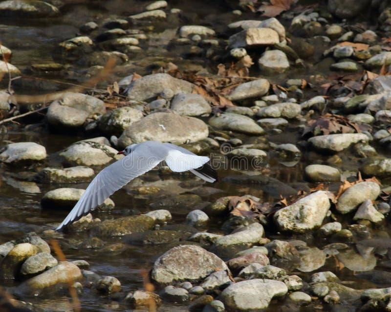 Gemeenschappelijke zeemeeuw die over de rivier op zoek naar voedsel vliegen royalty-vrije stock foto