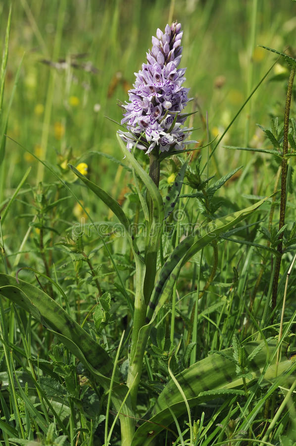 Gemeine beschmutzte Orchidee - Dactylorhiza fushsii lizenzfreie stockfotografie