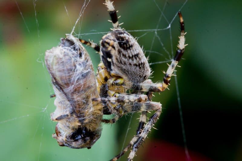 Gemeine Gartenkreuzspinne, die eine Wespe isst lizenzfreie stockfotografie
