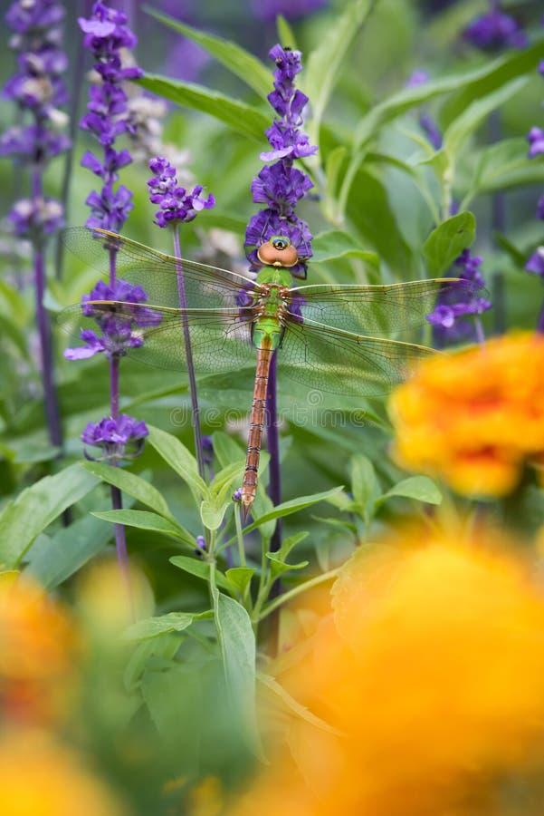 Gemeine grüne verflixtere Libelle auf Lavendel mit Ringelblumen-Blumen lizenzfreie stockbilder
