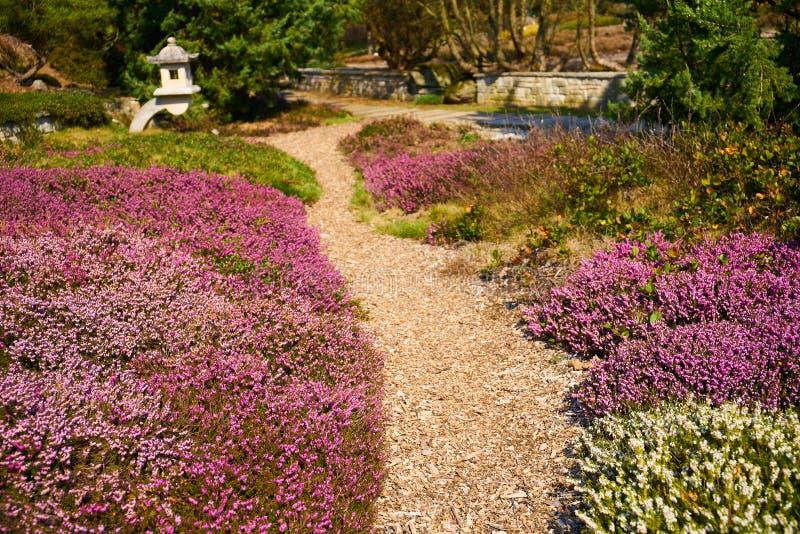 Gemeine Heide in der Blüte lizenzfreie stockfotos