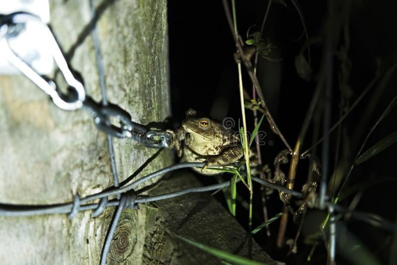 Gemeine Kröte auf einem Draht stockfotografie