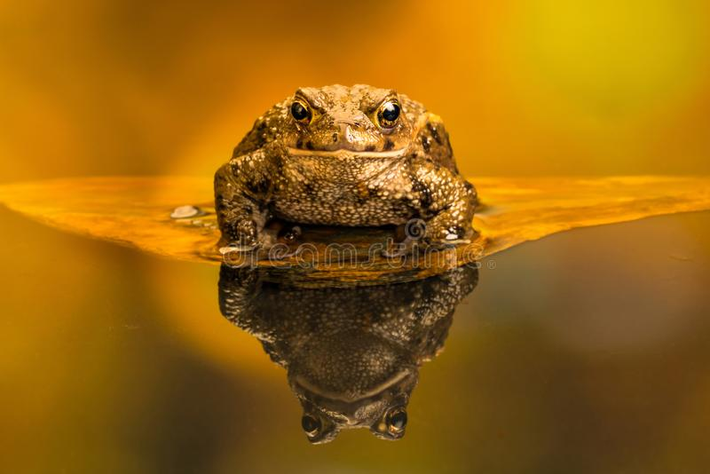 Gemeine Kröte Bufo Bufo, Reflexion im Wasser lizenzfreies stockfoto