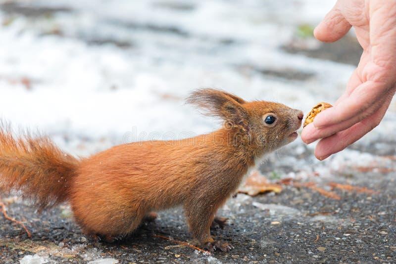 Gemeine nehmende Nüsse eurasischen Eichhörnchen Sciurus von der Mannhand In der Wintersaison ist schwierig, damit Eichhörnchen Na stockfoto