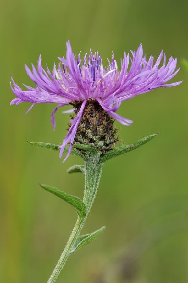 Gemeine oder schwarze Flockenblume stockfoto