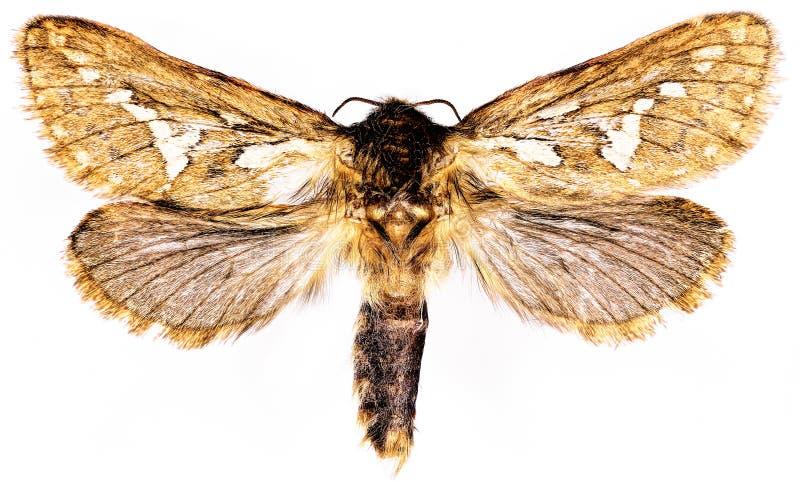 Gemeine schnelle Motte auf weißem Hintergrund lizenzfreie stockfotos