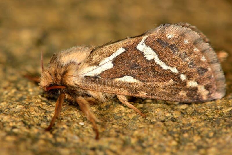 Gemeine schnelle Motte (Korscheltellus-lupulina) lizenzfreies stockfoto